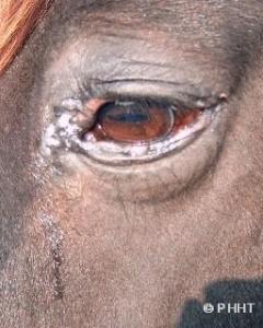 vies oog paard